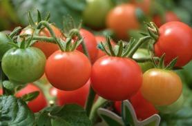 tomatoes, fresh produce, garden, summer, june, fruits & veggies, veggies, three pillars senior living
